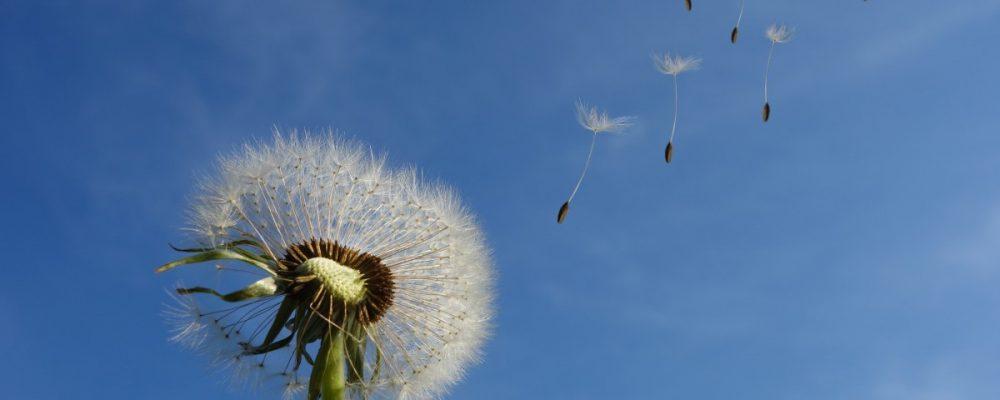 close-up-dandelion-dandelion-seeds-39669